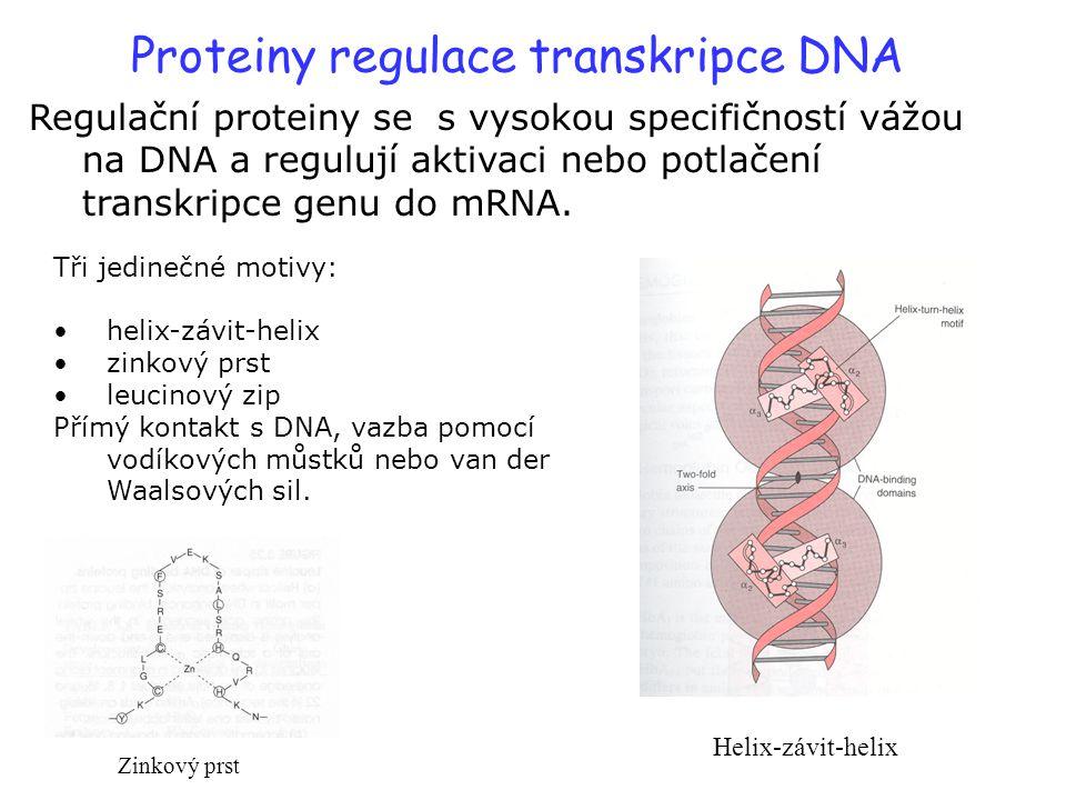 Proteiny regulace transkripce DNA Regulační proteiny se s vysokou specifičností vážou na DNA a regulují aktivaci nebo potlačení transkripce genu do mR