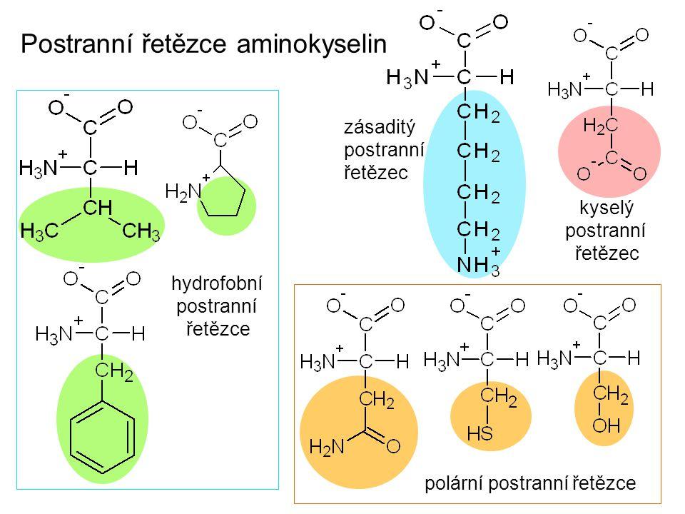 Postranní řetězce aminokyselin hydrofobní postranní řetězce polární postranní řetězce kyselý postranní řetězec zásaditý postranní řetězec