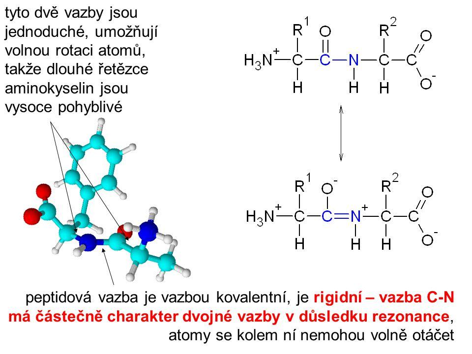 peptidová vazba je vazbou kovalentní, je rigidní – vazba C-N má částečně charakter dvojné vazby v důsledku rezonance, atomy se kolem ní nemohou volně