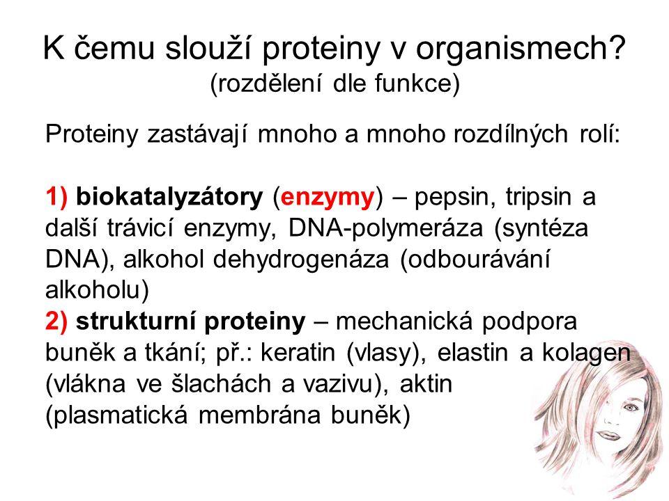 K čemu slouží proteiny v organismech? (rozdělení dle funkce) Proteiny zastávají mnoho a mnoho rozdílných rolí: 1) biokatalyzátory (enzymy) – pepsin, t