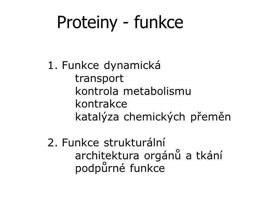 Proteiny - funkce 1. Funkce dynamická transport kontrola metabolismu kontrakce katalýza chemických přeměn 2. Funkce strukturální architektura orgánů a