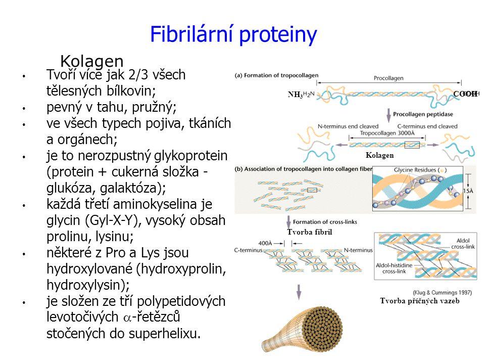 Tvoří více jak 2/3 všech tělesných bílkovin; pevný v tahu, pružný; ve všech typech pojiva, tkáních a orgánech; je to nerozpustný glykoprotein (protein
