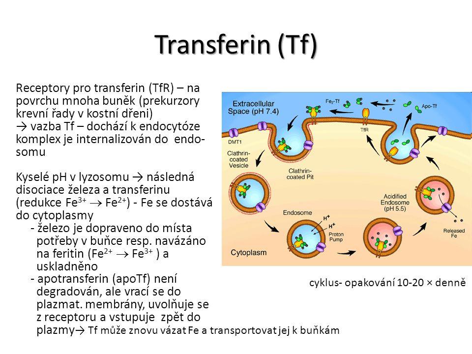 Transferin (Tf) Receptory pro transferin (TfR) – na povrchu mnoha buněk (prekurzory krevní řady v kostní dřeni) → vazba Tf – dochází k endocytóze komp