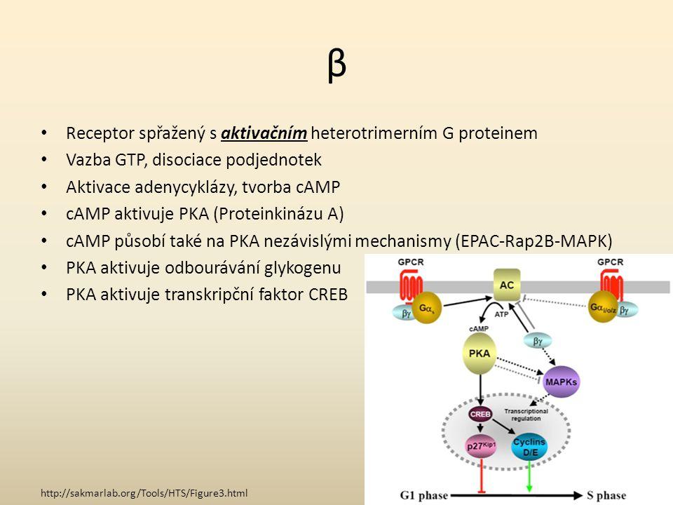 β Receptor spřažený s aktivačním heterotrimerním G proteinem Vazba GTP, disociace podjednotek Aktivace adenycyklázy, tvorba cAMP cAMP aktivuje PKA (Pr