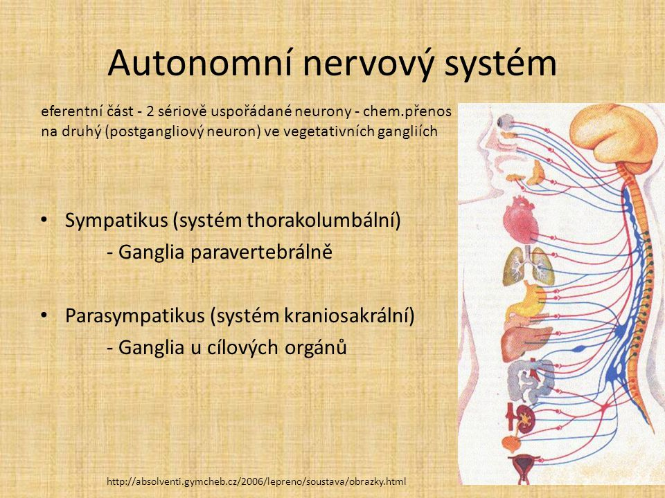 Autonomní nervový systém Sympatikus (systém thorakolumbální) - Ganglia paravertebrálně Parasympatikus (systém kraniosakrální) - Ganglia u cílových org