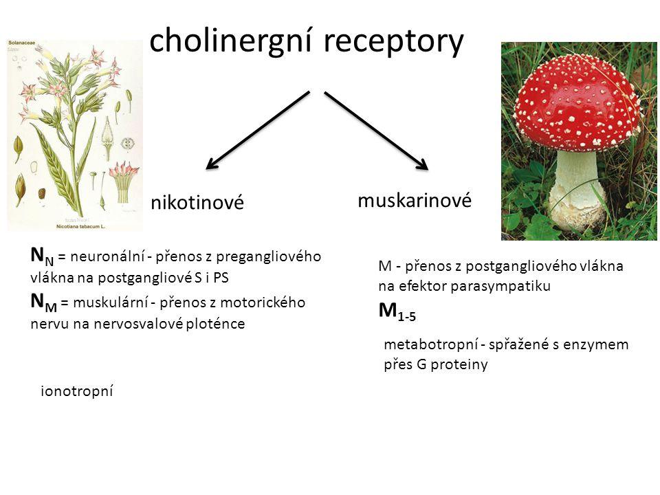 cholinergní receptory nikotinové muskarinové N N = neuronální - přenos z pregangliového vlákna na postgangliové S i PS N M = muskulární - přenos z mot