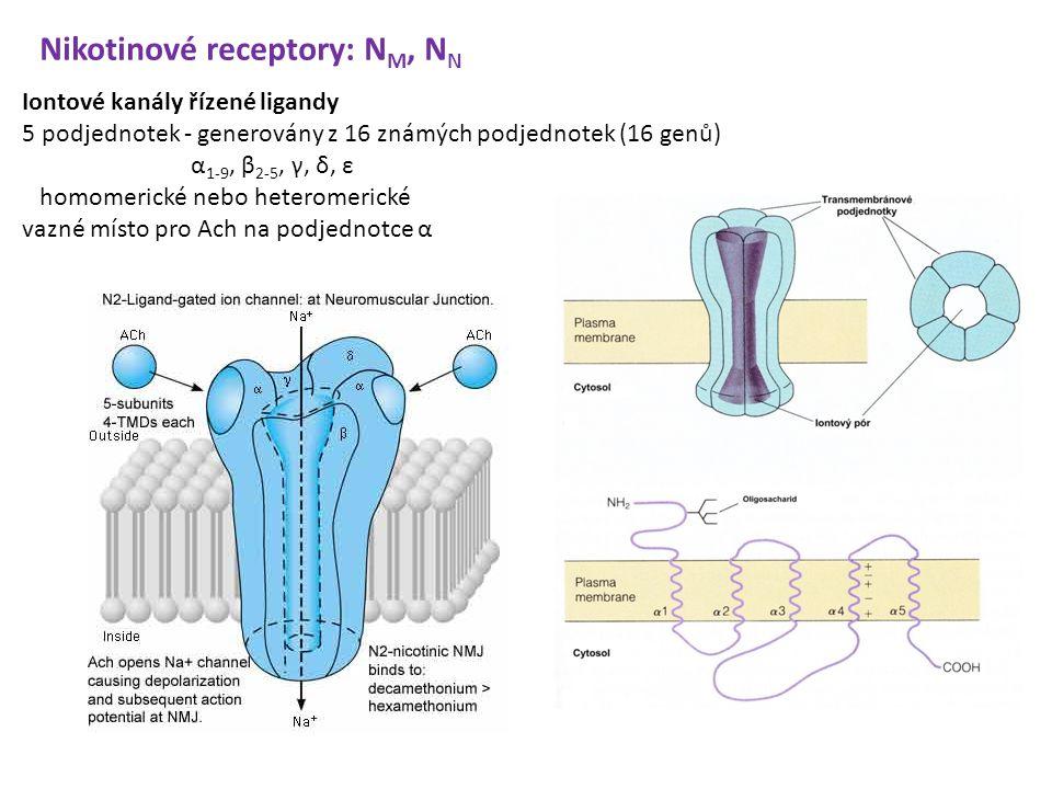 Nikotinové receptory: N M, N N Iontové kanály řízené ligandy 5 podjednotek - generovány z 16 známých podjednotek (16 genů) α 1-9, β 2-5, γ, δ, ε homom
