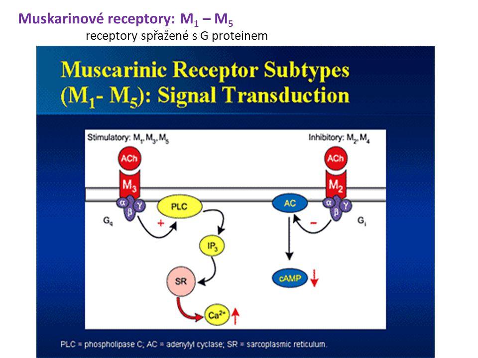 Muskarinové receptory: M 1 – M 5 receptory spřažené s G proteinem