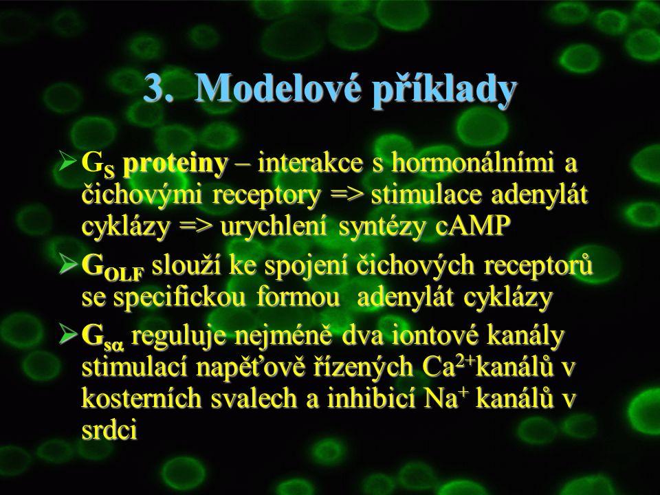 3. Modelové příklady S proteiny – interakce s hormonálními a čichovými receptory => stimulace adenylát cyklázy => urychlení syntézy cAMP  G S protein