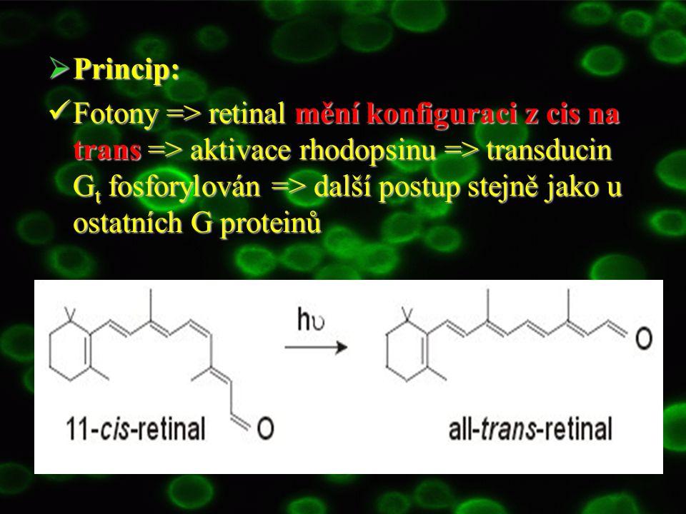  Princip: Fotony => retinal mění konfiguraci z cis na trans => aktivace rhodopsinu => transducin G t fosforylován => další postup stejně jako u ostat