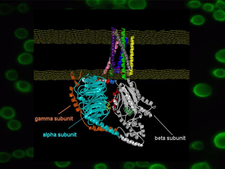   podjednotka – vysoká afinita ke guanin nukleotidům – GDP/GTP Vazba GDP na  podjednotku => neaktivní forma,  komplex těsně navázán Vazba GDP na  podjednotku => neaktivní forma,  komplex těsně navázán Vazba GTP na  podjednotku => aktivní forma,  komplex oddisociuje =>  podjednotka slouží jako efektorový protein Vazba GTP na  podjednotku => aktivní forma,  komplex oddisociuje =>  podjednotka slouží jako efektorový protein  Podobná funkce jako GTP = AlF 4 - společně s Mg 2+, interagují s  podjednotkou => aktivace