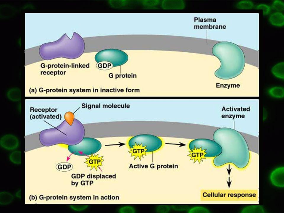  Po dopadu fotonů o vhodné vlnové délce na rhodopsin => aktivace transducinu = G t1 => stimulace cGMP fosfodiesterázy  Cytoplazmatická koncentrace cGMP snížena