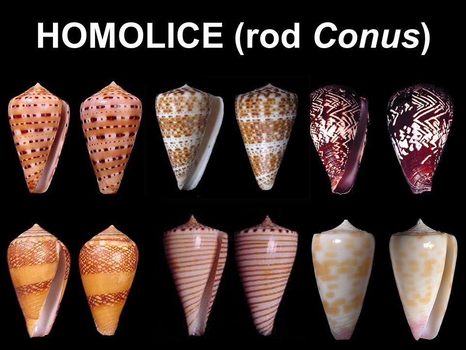 Conus aulicus (homolice knížecí) Velikost až 6 -14 cm.