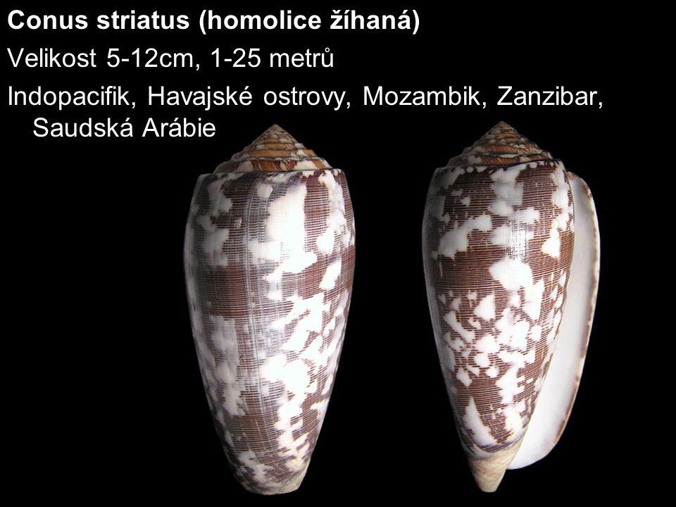 Conus striatus (homolice žíhaná) Velikost 5-12cm, 1-25 metrů Indopacifik, Havajské ostrovy, Mozambik, Zanzibar, Saudská Arábie