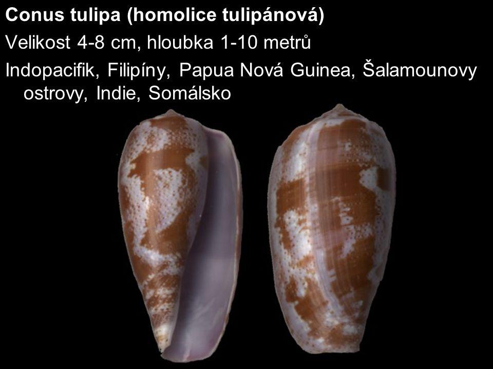 Conus tulipa (homolice tulipánová) Velikost 4-8 cm, hloubka 1-10 metrů Indopacifik, Filipíny, Papua Nová Guinea, Šalamounovy ostrovy, Indie, Somálsko