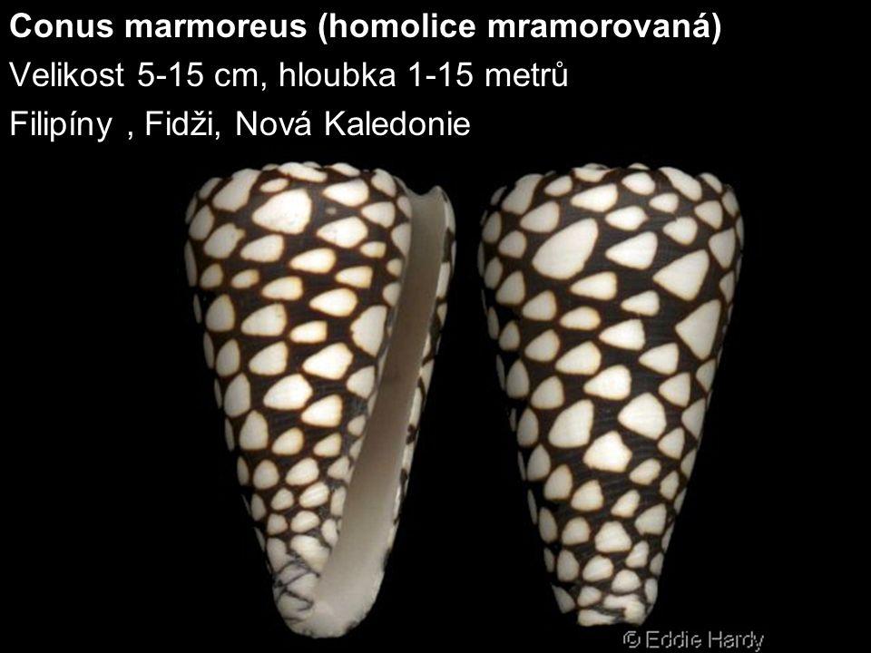 Conus marmoreus (homolice mramorovaná) Velikost 5-15 cm, hloubka 1-15 metrů Filipíny, Fidži, Nová Kaledonie