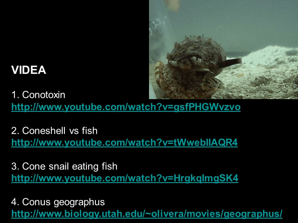 VIDEA 1. Conotoxin http://www.youtube.com/watch?v=gsfPHGWvzvo 2. Coneshell vs fish http://www.youtube.com/watch?v=tWwebIIAQR4 3. Cone snail eating fis
