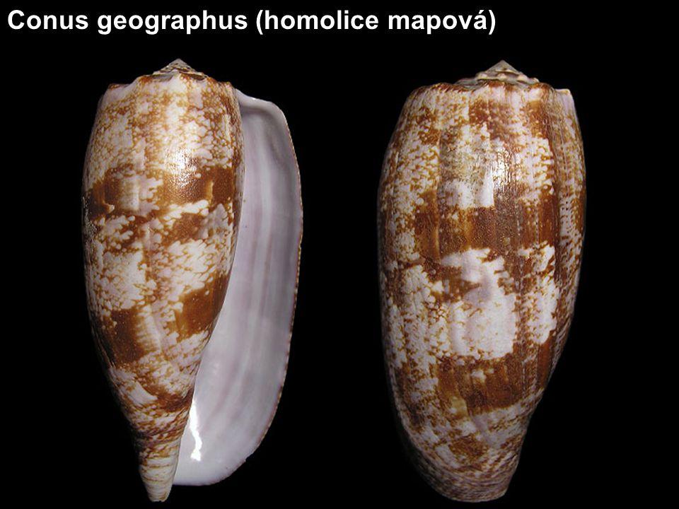 Conus textile (homolice síťkovaná) Velikost 4-14 cm, hloubka 2-50 metrů Indopacifik, Filipíny, Thajsko, Mozambik, Madagaskar, Indie, Keňa, Šalamounovy ostrovy Patří mezi nejrozšířenější a současně druh s největší variabilitou.