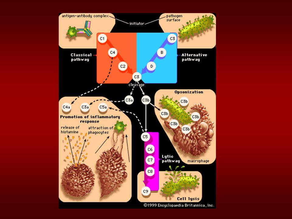 """""""Schopnosti jednotlivých složek komplementu Vazba na komplexy Ag:Ab C1q Aktivační enzymy C1r, C1s, C2b, Bd, D, MASP1,2 Membránu-vázající opsoniny C4b, C3b, MBP Mediátoři zánětu C5a, C3a, C4a Vazby na membránu cílové b."""
