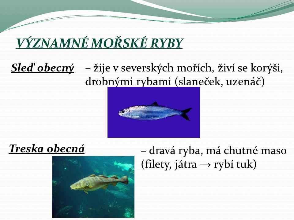 VÝZNAMNÉ MOŘSKÉ RYBY Sleď obecný– žije v severských mořích, živí se korýši, drobnými rybami (slaneček, uzenáč) Treska obecná – dravá ryba, má chutné maso (filety, játra → rybí tuk)