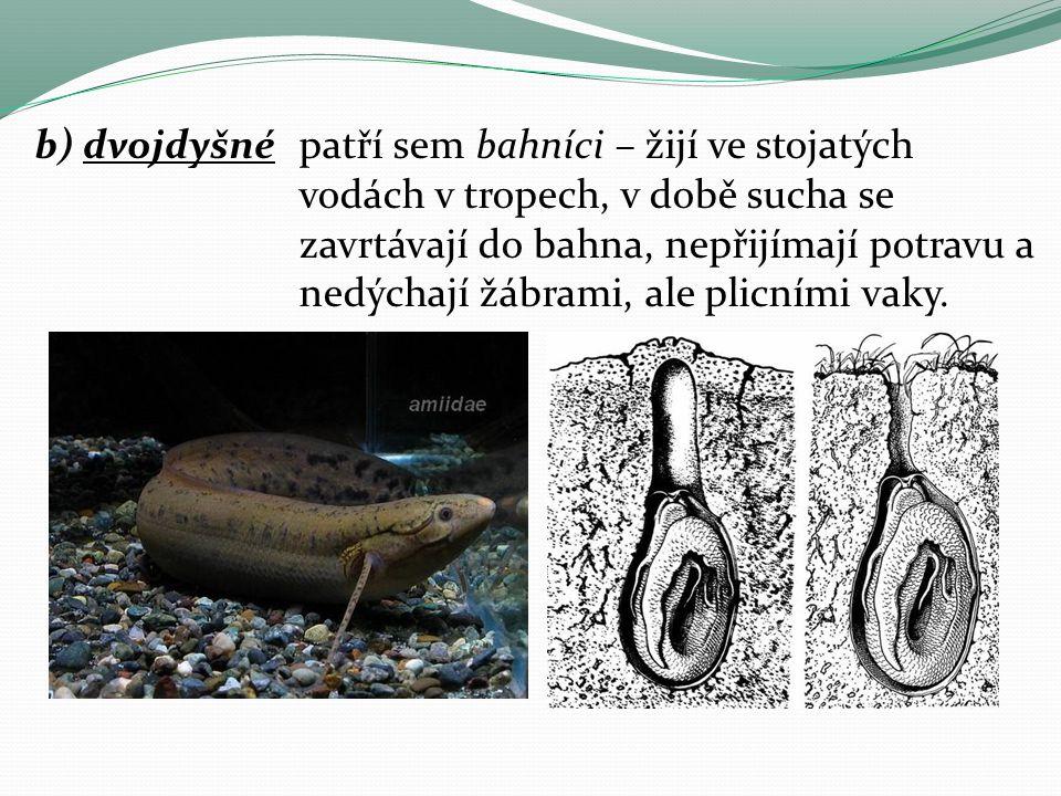 b) dvojdyšnépatří sem bahníci – žijí ve stojatých vodách v tropech, v době sucha se zavrtávají do bahna, nepřijímají potravu a nedýchají žábrami, ale plicními vaky.