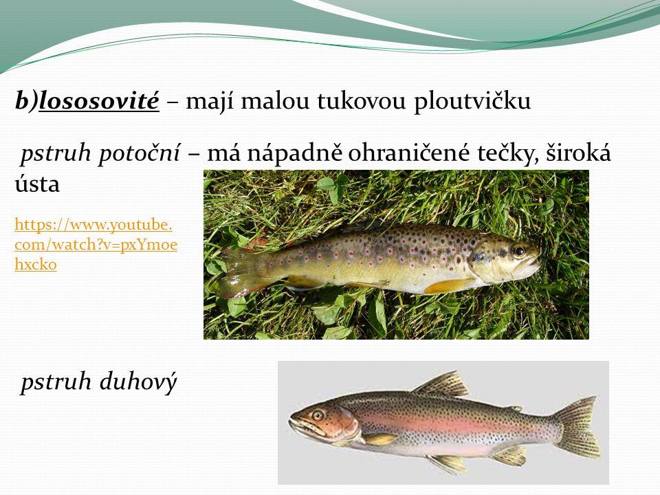 b)lososovité – mají malou tukovou ploutvičku pstruh potoční – má nápadně ohraničené tečky, široká ústa pstruh duhový https://www.youtube.