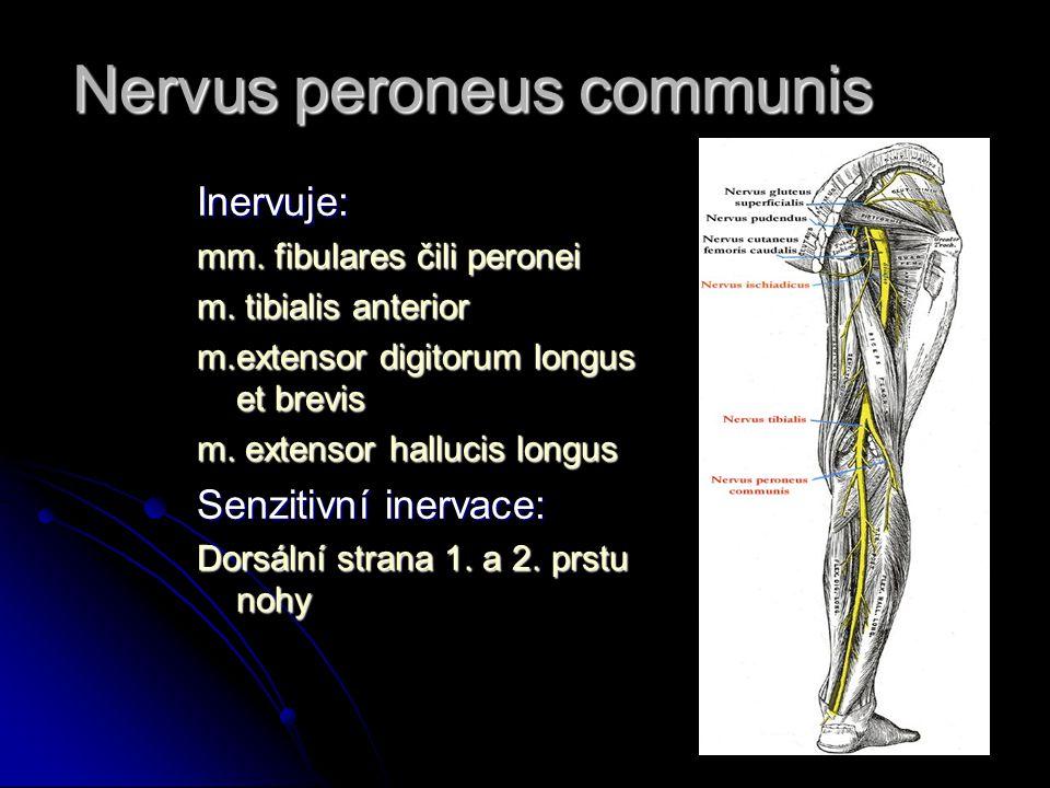 Nervus peroneus communis Inervuje: mm.fibulares čili peronei m.