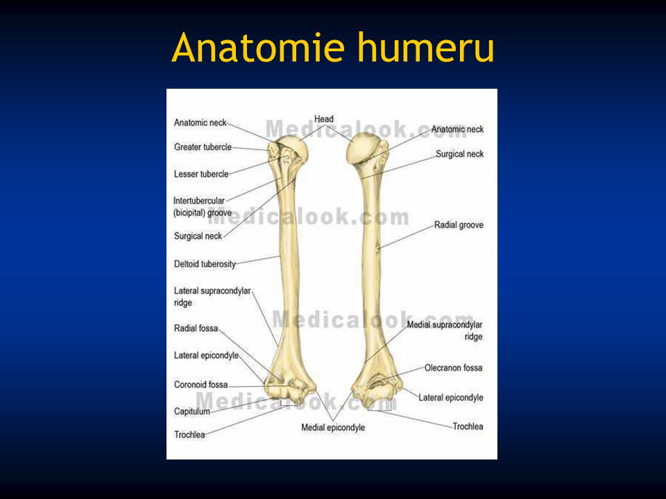 Anatomie humeru