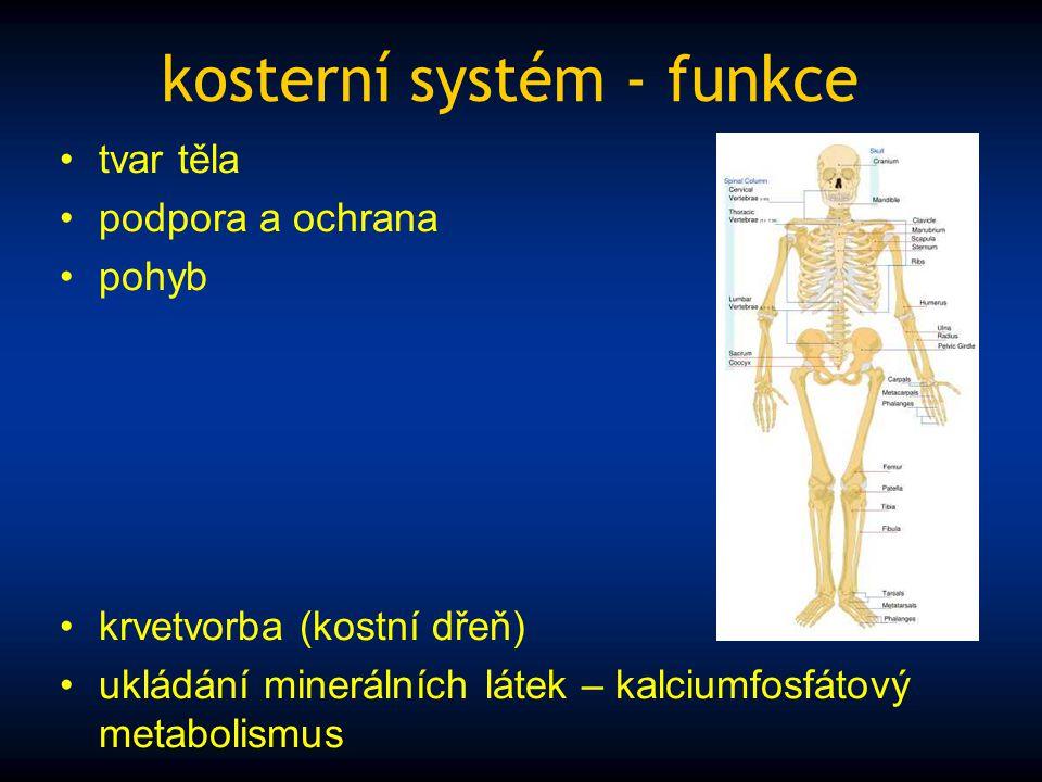 kosterní systém - funkce tvar těla podpora a ochrana pohyb krvetvorba (kostní dřeň) ukládání minerálních látek – kalciumfosfátový metabolismus