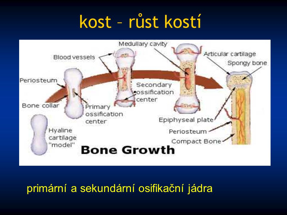 kost – růst kostí primární a sekundární osifikační jádra