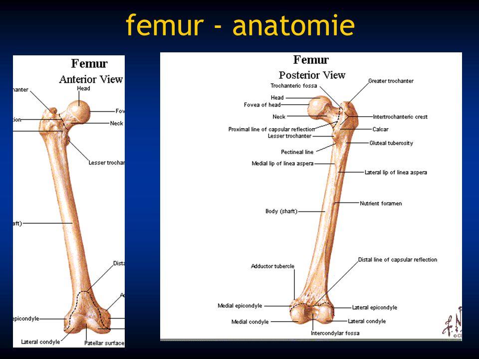 femur - anatomie