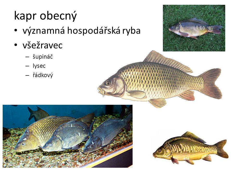 kapr obecný významná hospodářská ryba všežravec – šupináč – lysec – řádkový