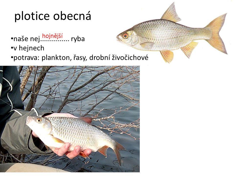 plotice obecná naše nej............... ryba v hejnech potrava: plankton, řasy, drobní živočichové hojnější