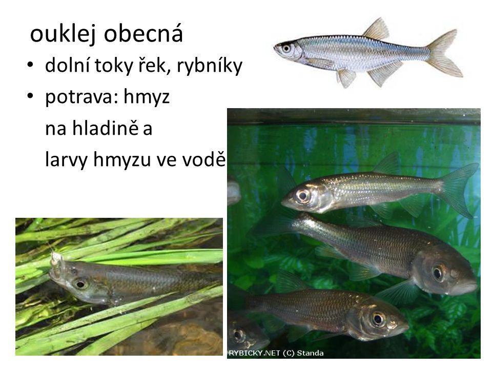 dolní toky řek, rybníky potrava: hmyz na hladině a larvy hmyzu ve vodě ouklej obecná