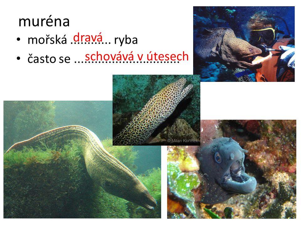 muréna mořská............ ryba často se............................... dravá schovává v útesech