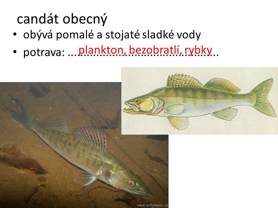 obývá pomalé a stojaté sladké vody potrava:................................................ candát obecný plankton, bezobratlí, rybky