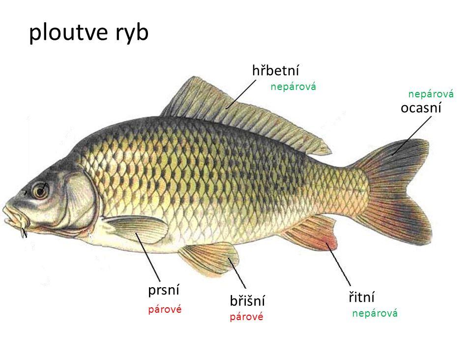 ploutve ryb ocasní hřbetní prsní břišní řitní párové nepárová párové nepárová