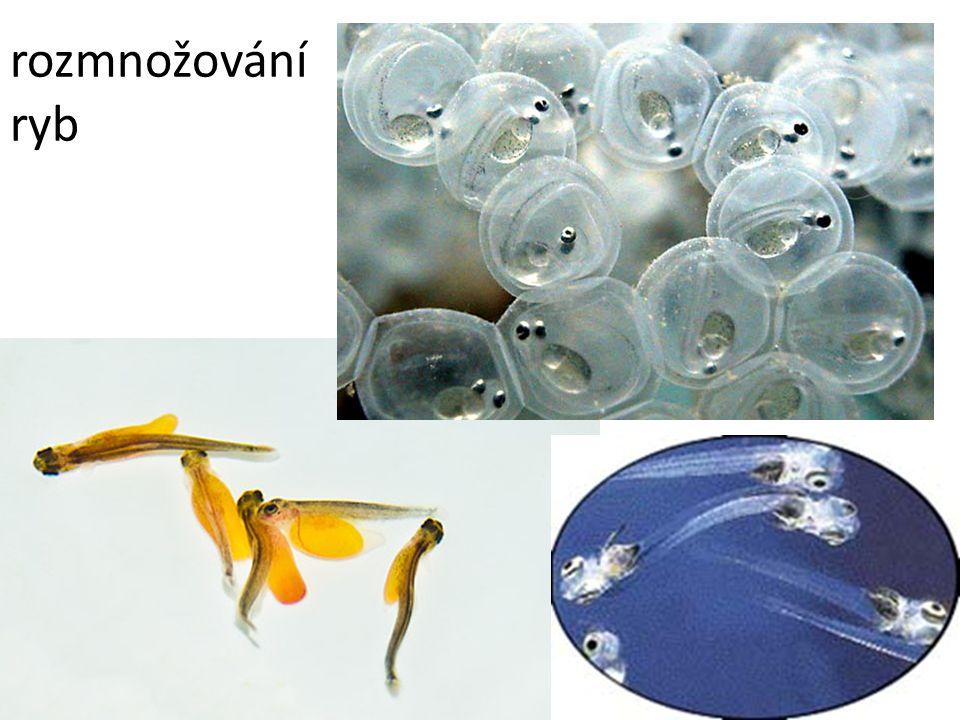 rozmnožování ryb