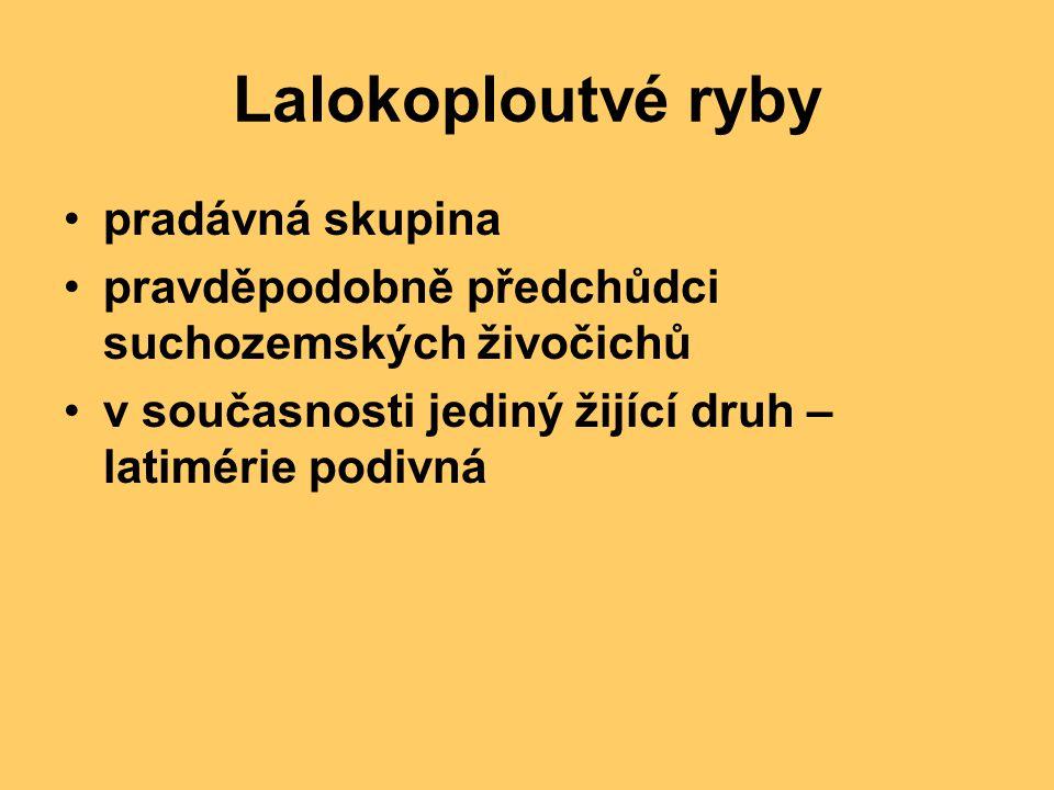 Lalokoploutvé ryby pradávná skupina pravděpodobně předchůdci suchozemských živočichů v současnosti jediný žijící druh – latimérie podivná