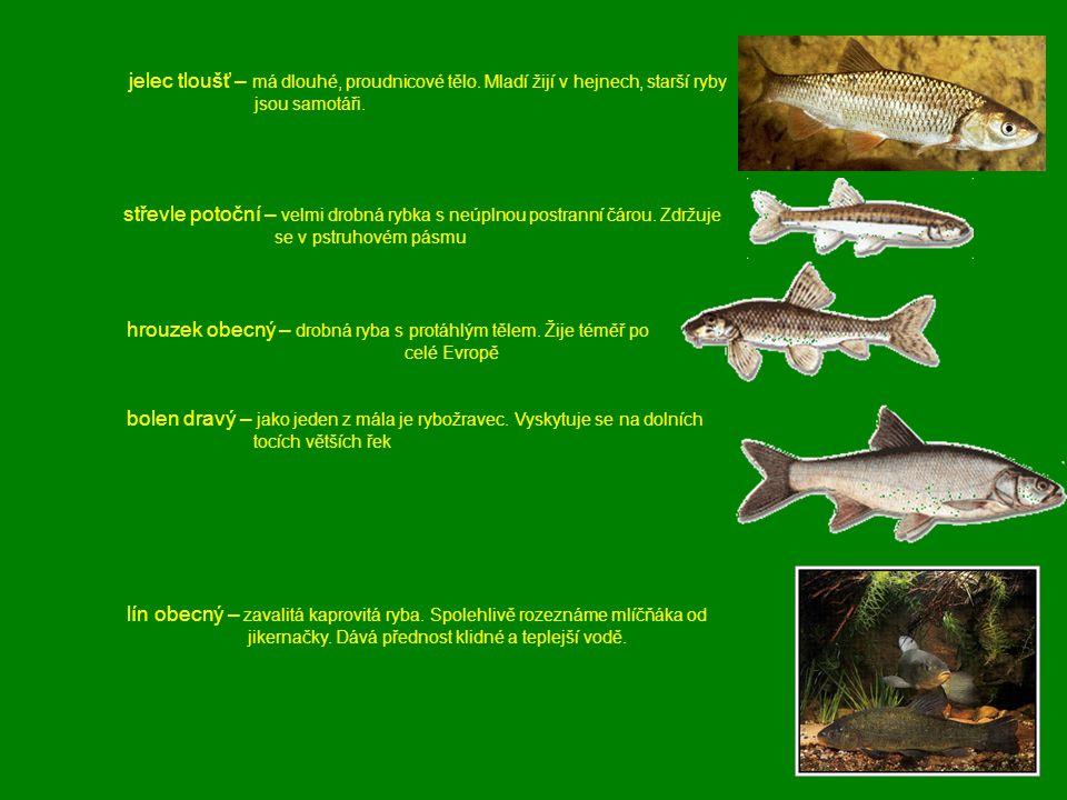 jelec tloušť – má dlouhé, proudnicové tělo. Mladí žijí v hejnech, starší ryby jsou samotáři. střevle potoční – velmi drobná rybka s neúplnou postranní