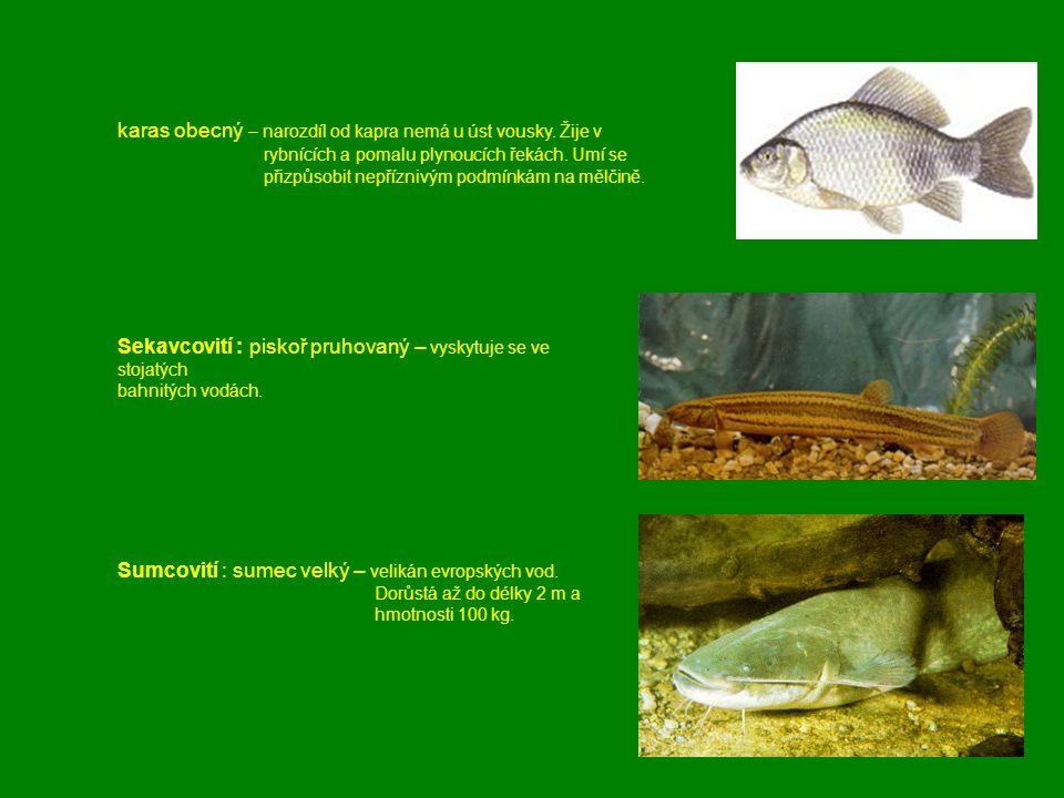 karas obecný – narozdíl od kapra nemá u úst vousky. Žije v rybnících a pomalu plynoucích řekách. Umí se přizpůsobit nepříznivým podmínkám na mělčině.