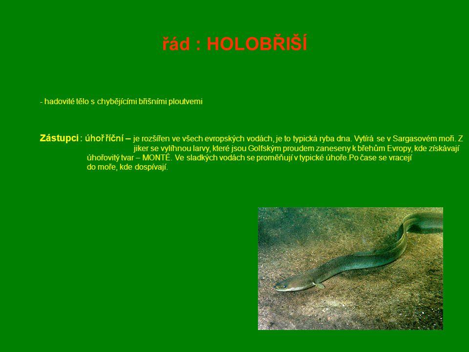 řád : HOLOBŘIŠÍ - hadovité tělo s chybějícími břišními ploutvemi Zástupci : úhoř říční – je rozšířen ve všech evropských vodách, je to typická ryba dn