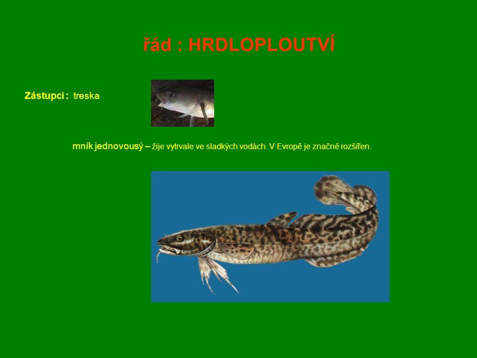 řád : HRDLOPLOUTVÍ Zástupci : treska mník jednovousý – žije vytrvale ve sladkých vodách. V Evropě je značně rozšířen.