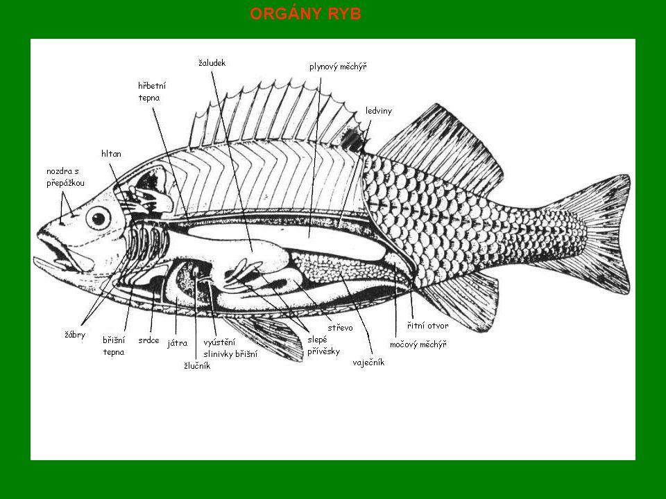 1.podtřída : DVOJDYŠNÍ Zástupci : BAHNÍCI - žijí v Americe, Austrálii a Africe - tropické sladkovodní ryby - africké druhy se zavrtávají do bahna, ze slizu vytváří kolem těla pouzdro.