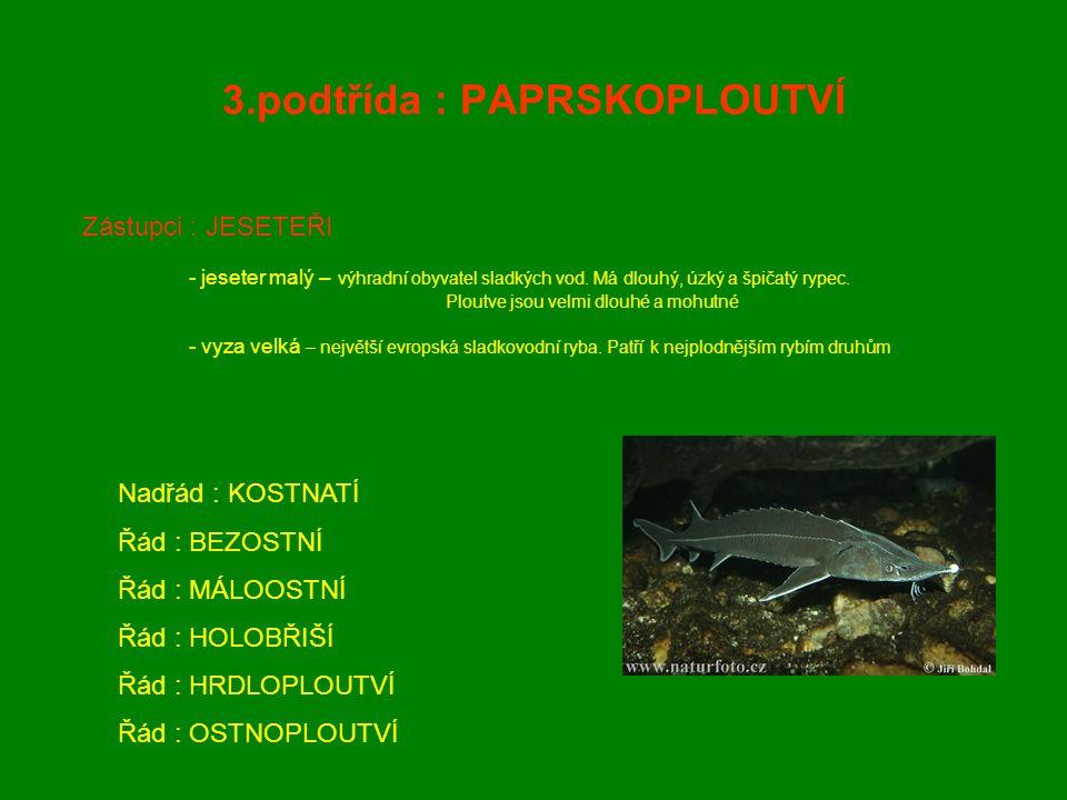 3.podtřída : PAPRSKOPLOUTVÍ Zástupci : JESETEŘI - jeseter malý – výhradní obyvatel sladkých vod. Má dlouhý, úzký a špičatý rypec. Ploutve jsou velmi d