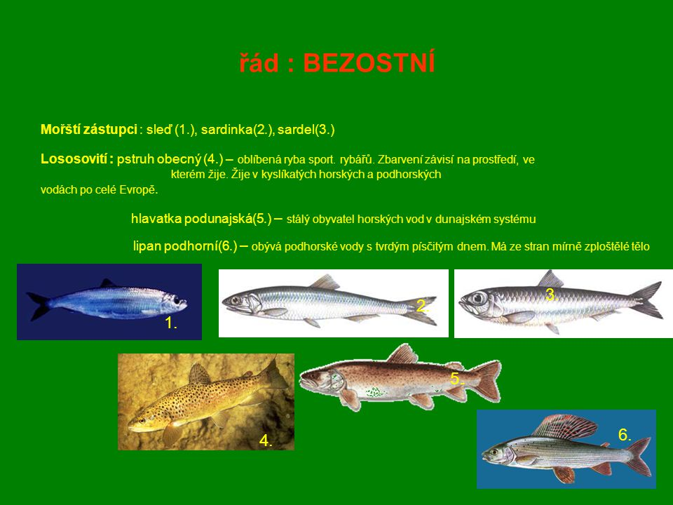 řád : BEZOSTNÍ Mořští zástupci : sleď (1.), sardinka(2.), sardel(3.) Lososovití : pstruh obecný (4.) – oblíbená ryba sport. rybářů. Zbarvení závisí na