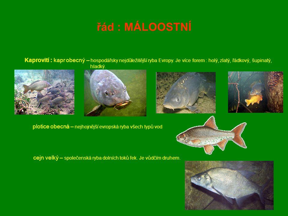 řád : MÁLOOSTNÍ Kaprovití : kapr obecný – hospodářsky nejdůležitější ryba Evropy. Je více forem : holý, zlatý, řádkový, šupinatý, hladký. plotice obec
