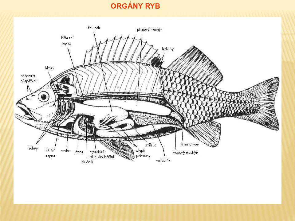  Plynový měchýř:  obsahuje plyny – hlavně dusík  hydrostatický orgán > nadlehčuje a udržuje polohu těla  Proudový orgán:  patrný jako postranní čára > řada kanálků vyplněných slizem s nervovými buňkami  orientace v prostředí