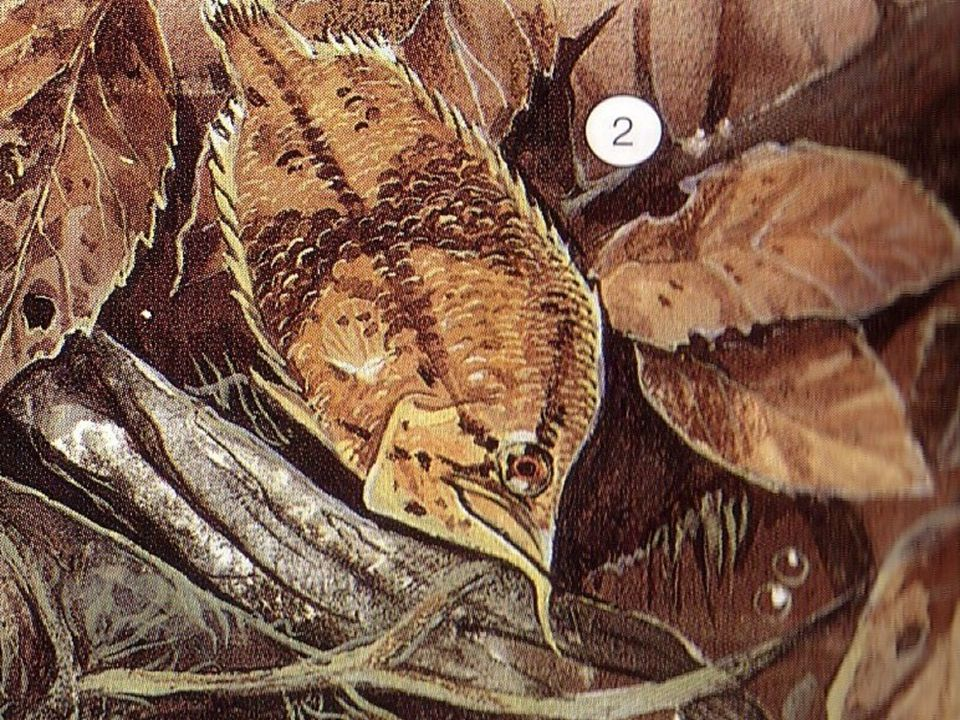 Ropušnice - napodobuje kámen ležící na dně porostlý řasami - málo pohyblivé ryby - r.