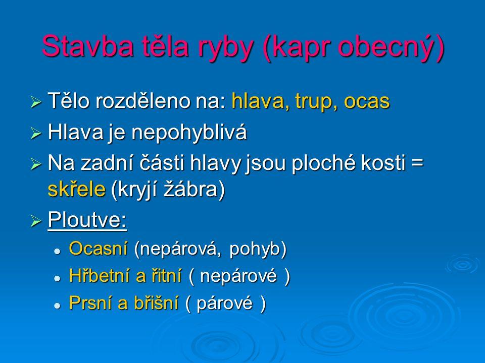 Stavba těla ryby (kapr obecný) TTTTělo rozděleno na: hlava, trup, ocas HHHHlava je nepohyblivá NNNNa zadní části hlavy jsou ploché kosti = skřele (kryjí žábra) PPPPloutve: Ocasní (nepárová, pohyb) Hřbetní a řitní ( nepárové ) Prsní a břišní ( párové )
